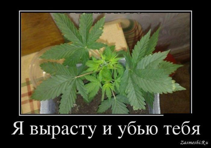 Приколы и марихуана янтарная кислота от марихуаны