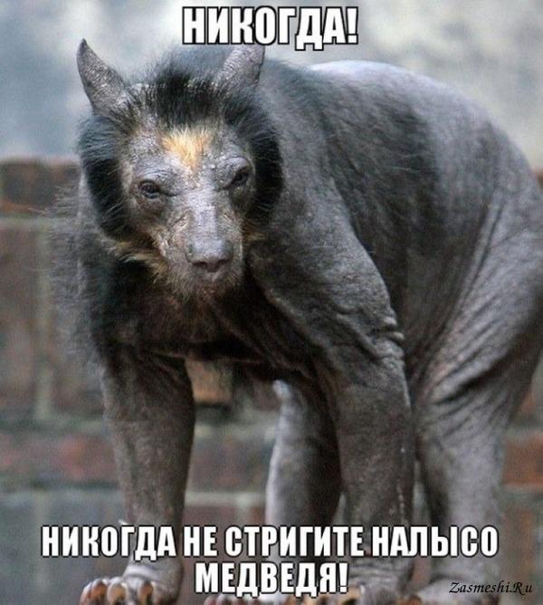 Фото голого лысого медведя 11 фотография